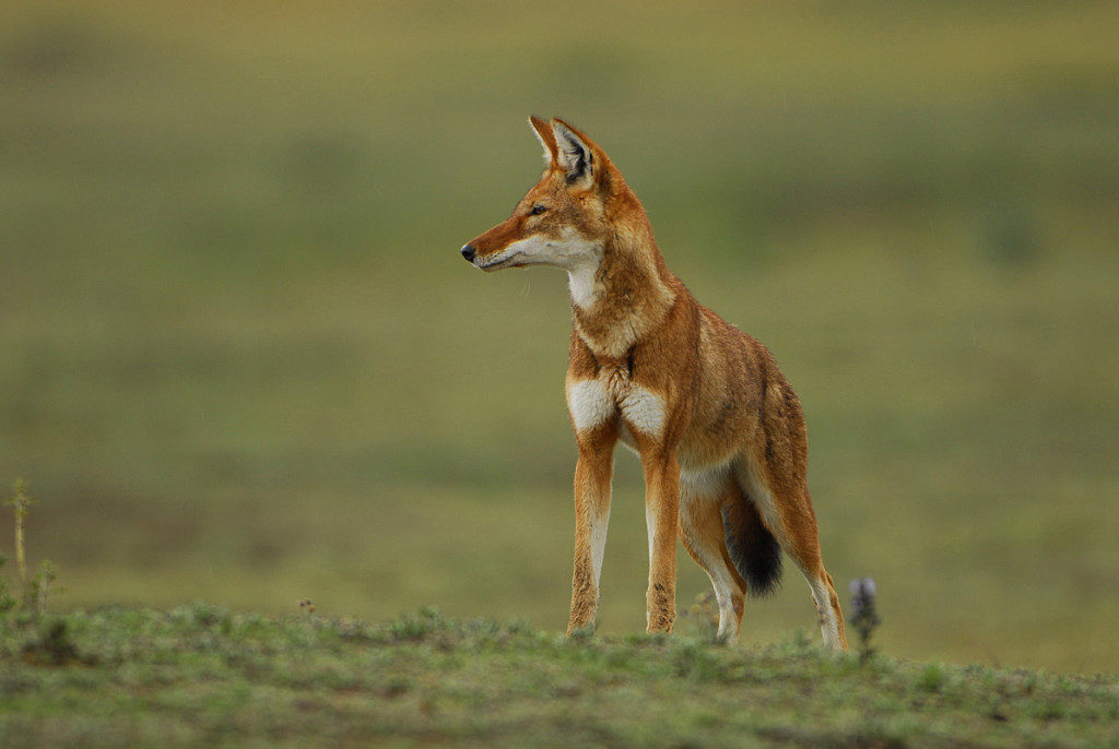 Ethiopian Wolf © Ethiopian Ministry of Culture and Tourism