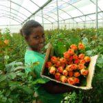 horticulture-flower-rose