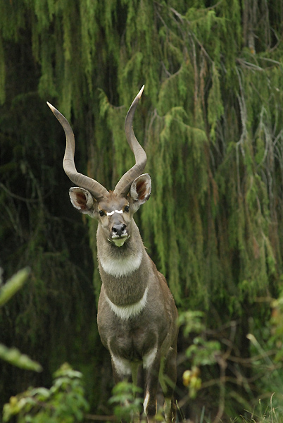 Mountain Nyala found in the Simien Mountains. © Ethiopian Ministry of Culture and Tourism