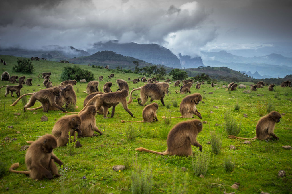 The Gelada Baboons in the Simien Mountains. © Ethiopian Tourism Organization